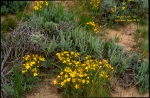 yellow flowers in sage brush