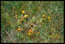 orange and yellow cactus flowers in grass