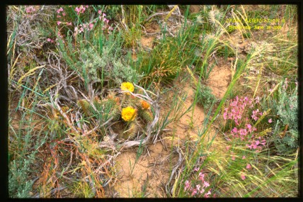 yellow cactus flowers and pink plowers in sage