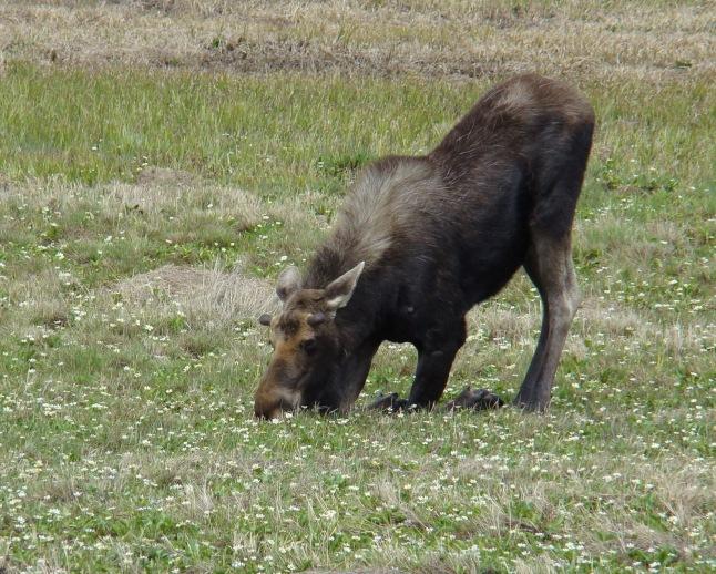js moose 3098