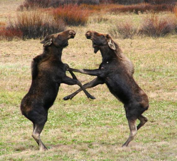 js moose dance
