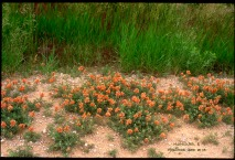 orange flower ground cover, high green grass in the back ground
