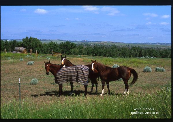 Wild Horses near Broadus Montana